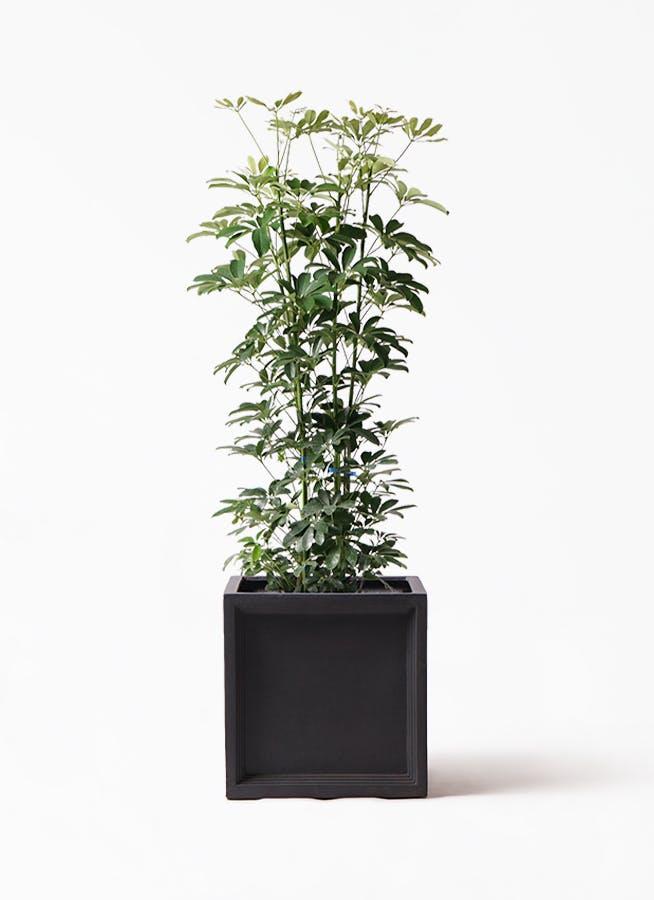 観葉植物 カポック(シェフレラ) 8号 ノーマル ブリティッシュキューブ 付き