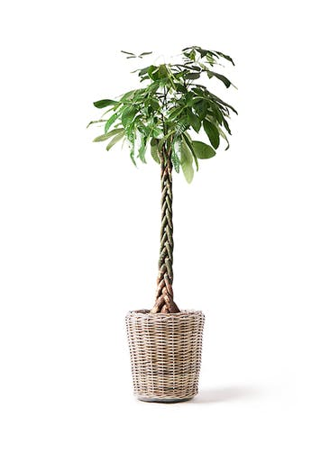 観葉植物 パキラ 10号 ねじり モンデリック ラタン 付き