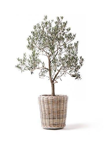 観葉植物 オリーブの木 10号 ピッチョリーネ モンデリック ラタン 付き