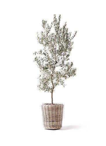 観葉植物 オリーブの木 10号 バロウニ モンデリック ラタン 付き