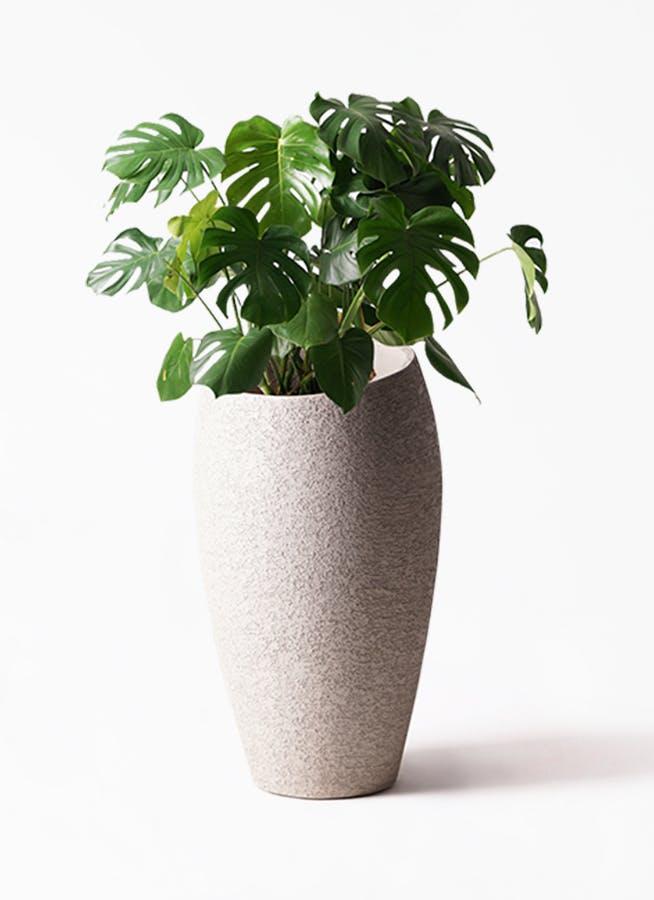 観葉植物 モンステラ 8号 ボサ造り エコストーントールタイプ Light Gray 付き