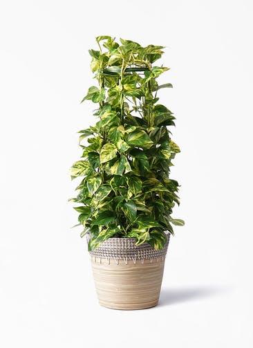 観葉植物 ポトス 8号 アルマ コニック 白 付き