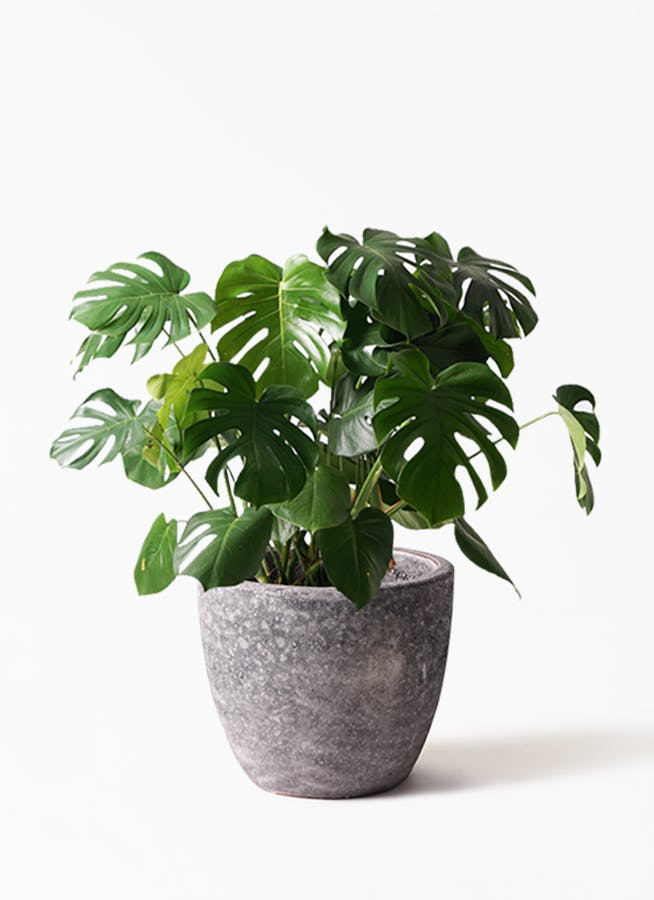 観葉植物 モンステラ 8号 ボサ造り アビスソニアミドル 灰 付き