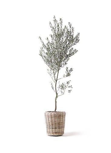 観葉植物 オリーブの木 10号 創樹 モンデリック ラタン 付き