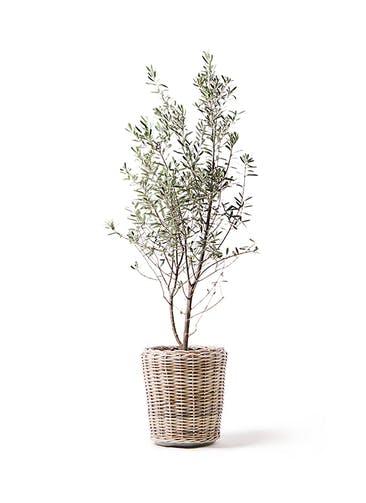観葉植物 オリーブの木 10号 チプレッシーノ モンデリック ラタン 付き