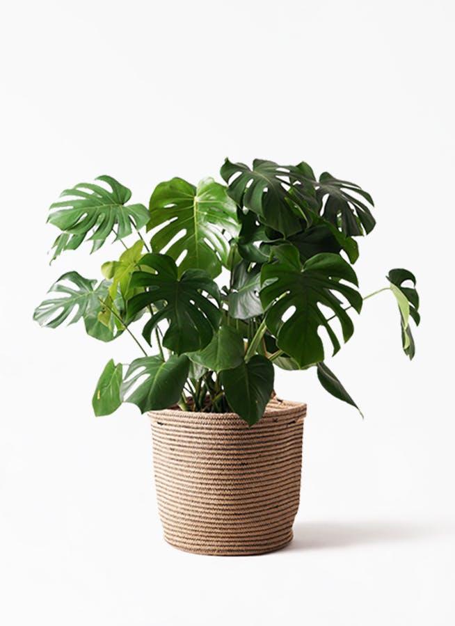 観葉植物 モンステラ 8号 ボサ造り リブバスケットNatural 付き