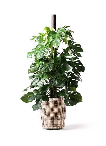 観葉植物 モンステラ 10号 ヘゴ柱 モンデリック ラタン 付き