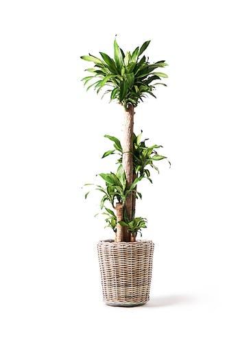 観葉植物 ドラセナ 幸福の木 10号 ノーマル モンデリック ラタン 付き