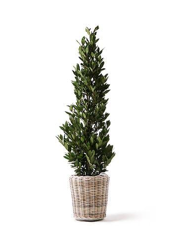 観葉植物 月桂樹 10号 モンデリック ラタン 付き