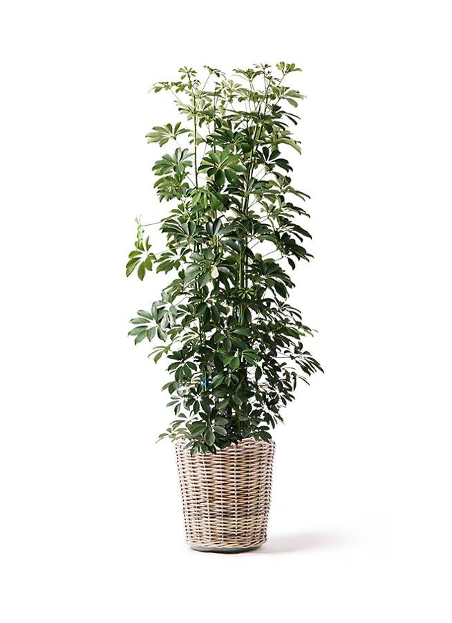 観葉植物 カポック(シェフレラ) 10号 ノーマル モンデリック ラタン 付き