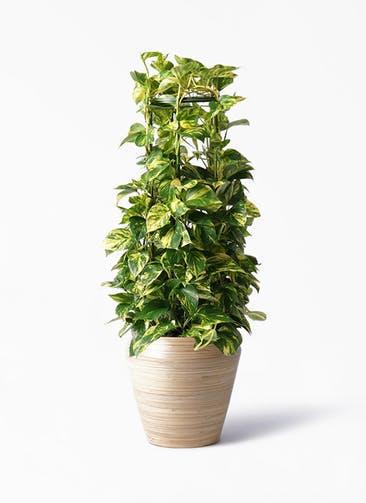 観葉植物 ポトス 8号 アルマ ミドル 付き
