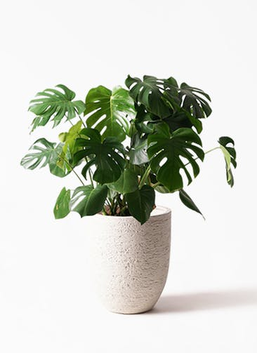 観葉植物 モンステラ 8号 ボサ造り ビアスアルトエッグ 白 付き