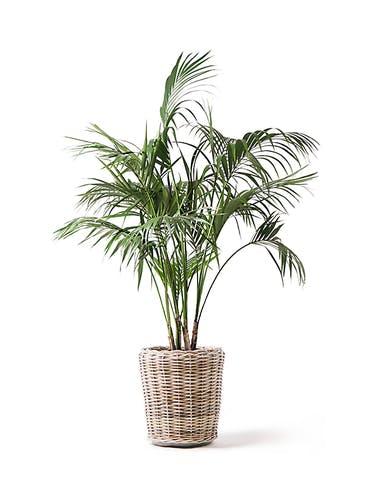 観葉植物 ケンチャヤシ 10号 モンデリック ラタン 付き