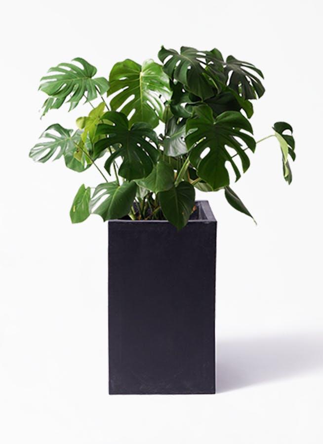 観葉植物 モンステラ 8号 ボサ造り セドナロング 墨 付き