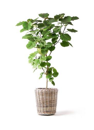 観葉植物 フィカス ウンベラータ 10号 ノーマル モンデリック ラタン 付き