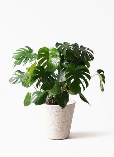 観葉植物 モンステラ 8号 ボサ造り ビアスソリッド 白 付き