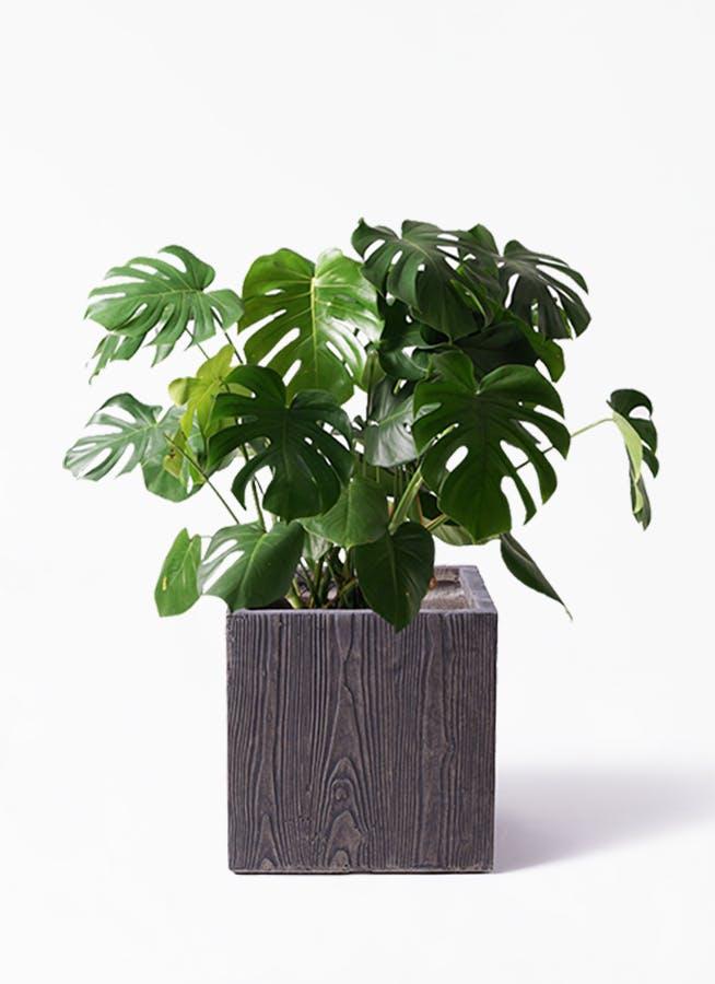 観葉植物 モンステラ 8号 ボサ造り ベータ キューブプランター ウッド 茶 付き