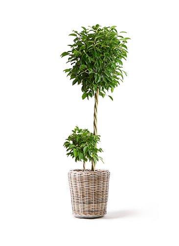 観葉植物 フィカス ベンジャミン 10号 玉造り モンデリック ラタン 付き