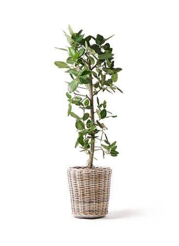 観葉植物 フィカス ベンガレンシス 10号 ストレート モンデリック ラタン 付き