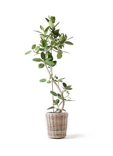 観葉植物 フィカス ベンガレンシス 10号 曲り モンデリック ラタン 付き