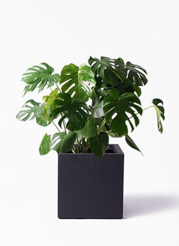 観葉植物 モンステラ 8号 ボサ造り ベータ キューブプランター 黒 付き