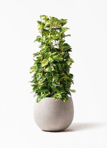 観葉植物 ポトス 8号 テラニアス ローバルーン アンティークホワイト 付き