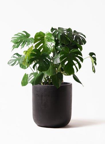 観葉植物 モンステラ 8号 ボサ造り エルバ 黒 付き