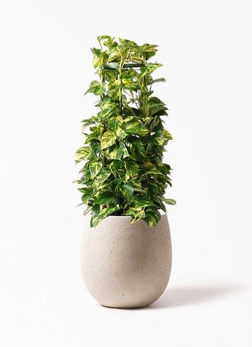 観葉植物 ポトス 8号 テラニアス バルーン アンティークホワイト 付き