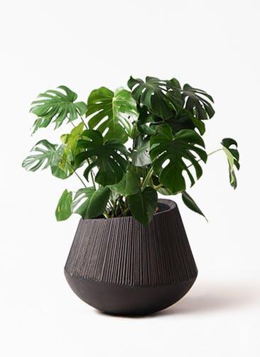 観葉植物 モンステラ 8号 ボサ造り エディラウンド 黒 付き