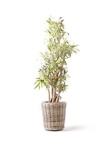 観葉植物 ドラセナ ソング オブ インディア 10号 モンデリック ラタン 付き