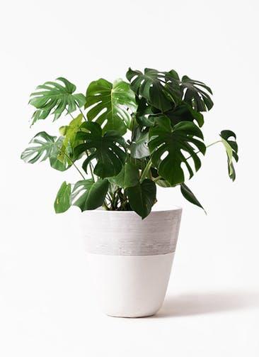 観葉植物 モンステラ 8号 ボサ造り ジュピター 白 付き