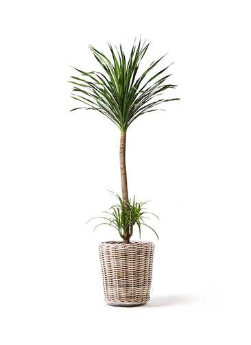観葉植物 ドラセナ カンボジアーナ 10号 モンデリック ラタン 付き