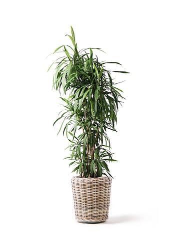 観葉植物 コルディリネ (コルジリネ) ストリクタ 10号 10号 モンデリック ラタン 付き