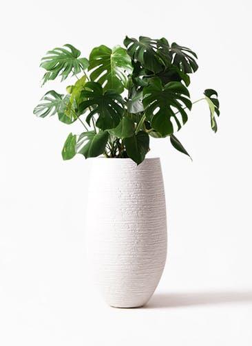 観葉植物 モンステラ 8号 ボサ造り フォンティーヌトール 白 付き