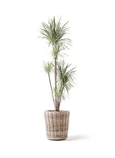 観葉植物 コンシンネ ホワイポリー 10号 ストレート モンデリック ラタン 付き