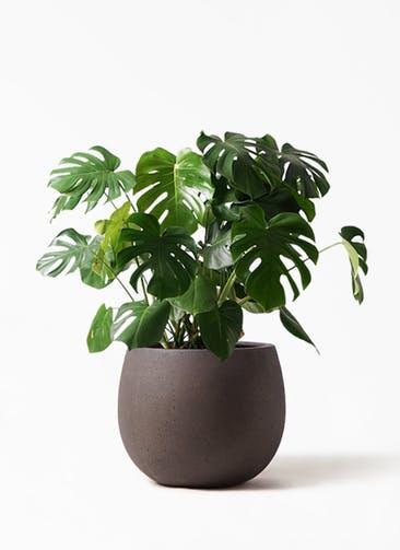 観葉植物 モンステラ 8号 ボサ造り テラニアス ローバルーン アンティークブラウン 付き