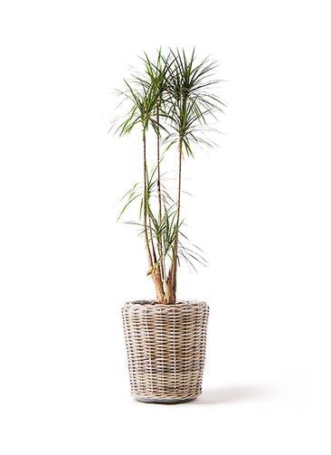 観葉植物 ドラセナ コンシンネ 10号 モンデリック ラタン