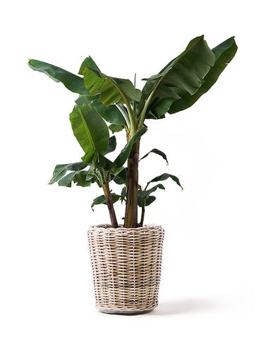 観葉植物 三尺バナナ 10号 モンデリック ラタン 付き