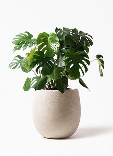 観葉植物 モンステラ 8号 ボサ造り テラニアス バルーン アンティークホワイト 付き