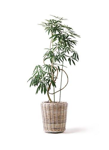観葉植物 シェフレラ アンガスティフォリア 10号 曲り モンデリック ラタン