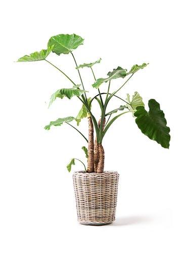 観葉植物 クワズイモ 10号 モンデリック ラタン 付き