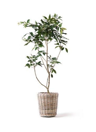 観葉植物 アマゾンオリーブ (ムラサキフトモモ) 10号 モンデリック ラタン 付き