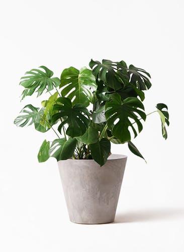 観葉植物 モンステラ 8号 ボサ造り アートストーン ラウンド グレー 付き