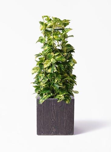 観葉植物 ポトス 8号 ベータ キューブプランター ウッド 茶 付き