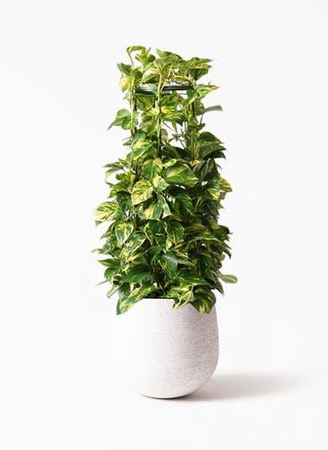 観葉植物 ポトス 8号 エコストーンwhite 付き