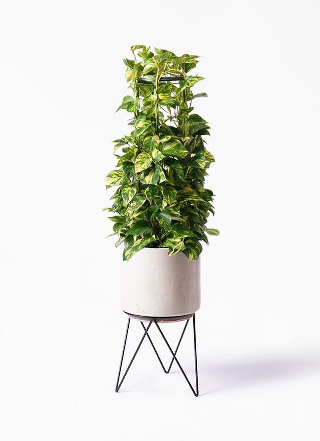 観葉植物 ポトス 8号 ビトロ エンデカ クリーム アイアンポットスタンド ブラック 付き