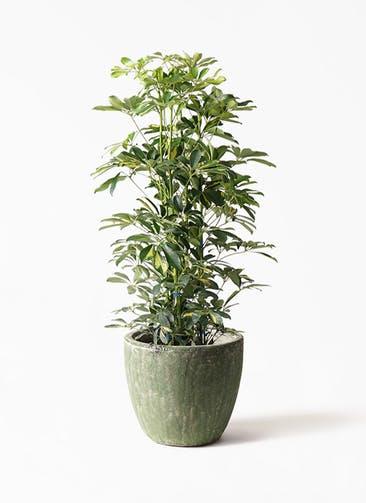 観葉植物 カポック(シェフレラ) 8号 斑入り アビスソニアミドル 緑 付き