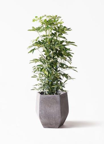 観葉植物 カポック(シェフレラ) 8号 斑入り ファイバークレイ Gray 付き
