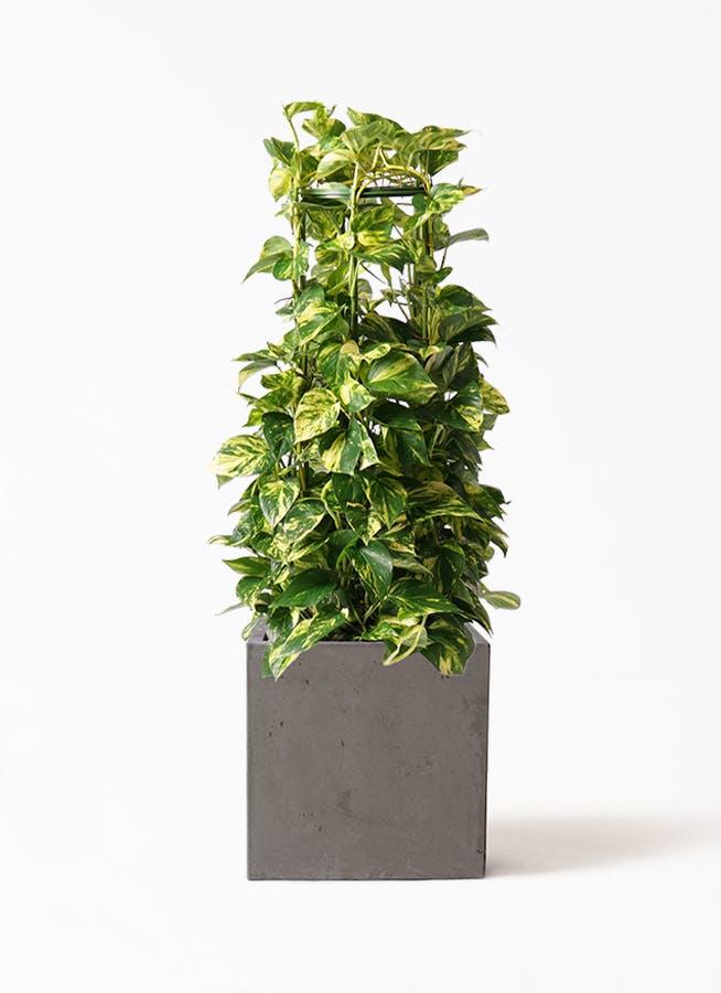 観葉植物 ポトス 8号 コンカー キューブ 灰 付き