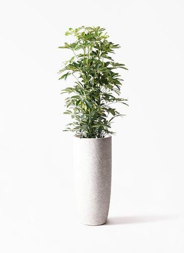 観葉植物 カポック(シェフレラ) 8号 斑入り エコストーントールタイプ white 付き